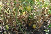 Пораженные фитофторой погибающие посадки томатов