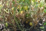 Фитофтороз или почему чернеют помидоры