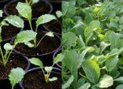 Как правильно вырастить рассаду капусты разных сортов
