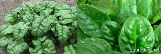 Шпинат как овощ: выращивание дома