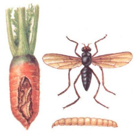 Как отвадить морковную муху