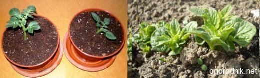Выращивание картофеля через рассаду
