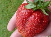 Клубника Гигантелла: описание сорта и технология выращивания