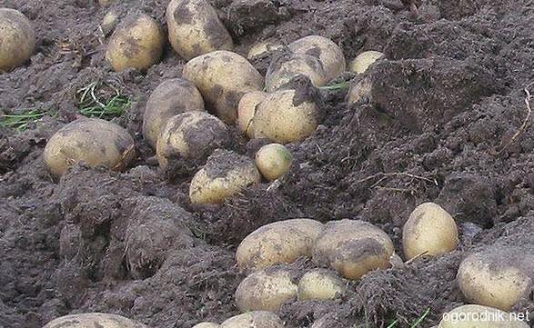 Уборка молодого картофеля
