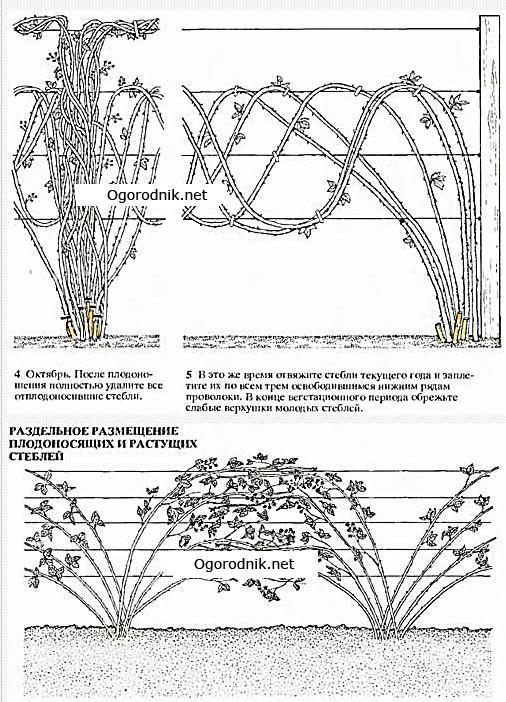 ежевика обрезка осенью для начинающих схема