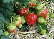 Что нужно знать о подкормке клубники во время цветения и плодоношения