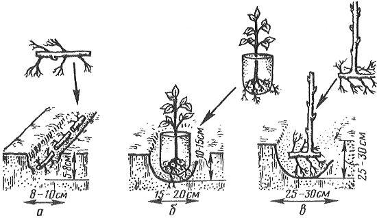 Размножение ремонтантной малины черенками осенью видео