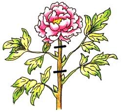 После цветения необходимо удалить отцветший бутон и обрезать стебель на 2 почки ниже
