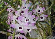 Пересадка орхидеи дендробиум в домашних условиях
