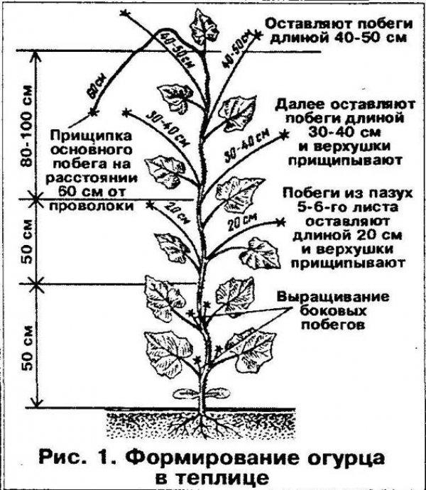 Особенности выращивания огурцов в теплице 43