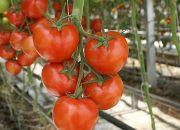 Когда убирать помидоры в теплице