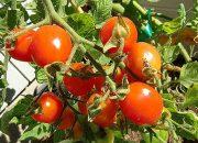 Когда убирать помидоры в открытом грунте