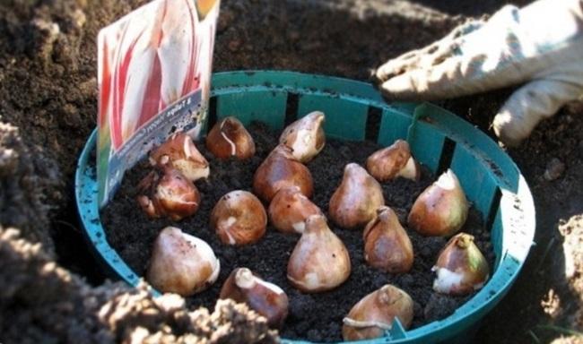 Высаживаем тюльпаны в грунт
