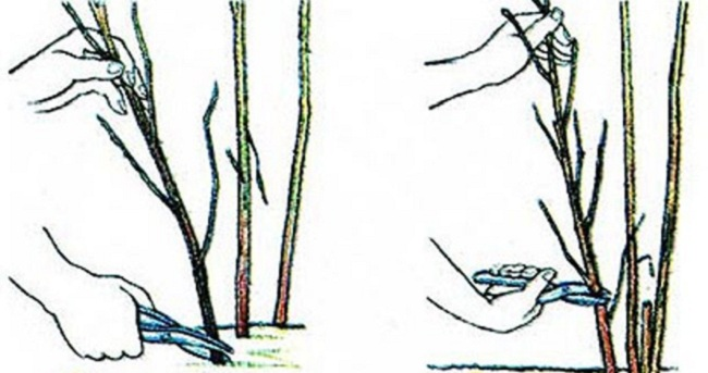 Правильная обрезка куста малины