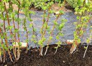 Посадка малины осенью: когда и как правильно садить
