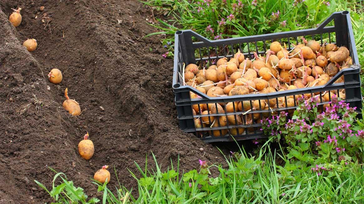 Картошку сажать под солому 91