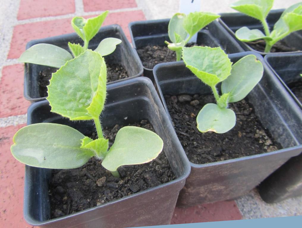 Как высаживать рассаду дыни в грунт 27