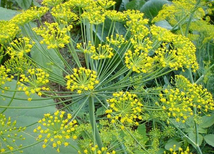 Хитросты выращивания хорошего укропа | Огородник