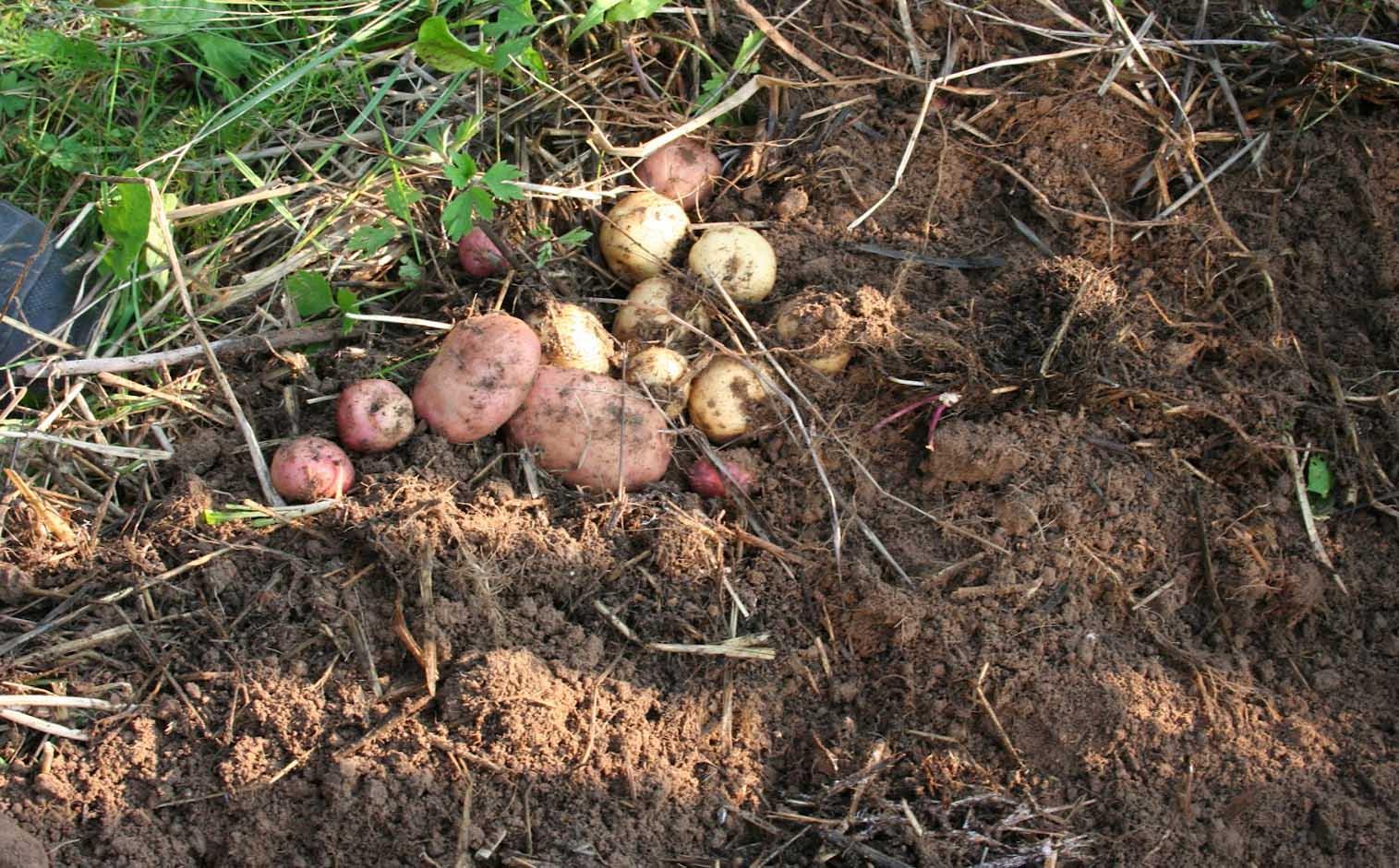 Сажать картофель в зиму 11