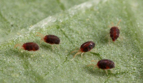 болезни баклажанов в теплице паутинный клещ