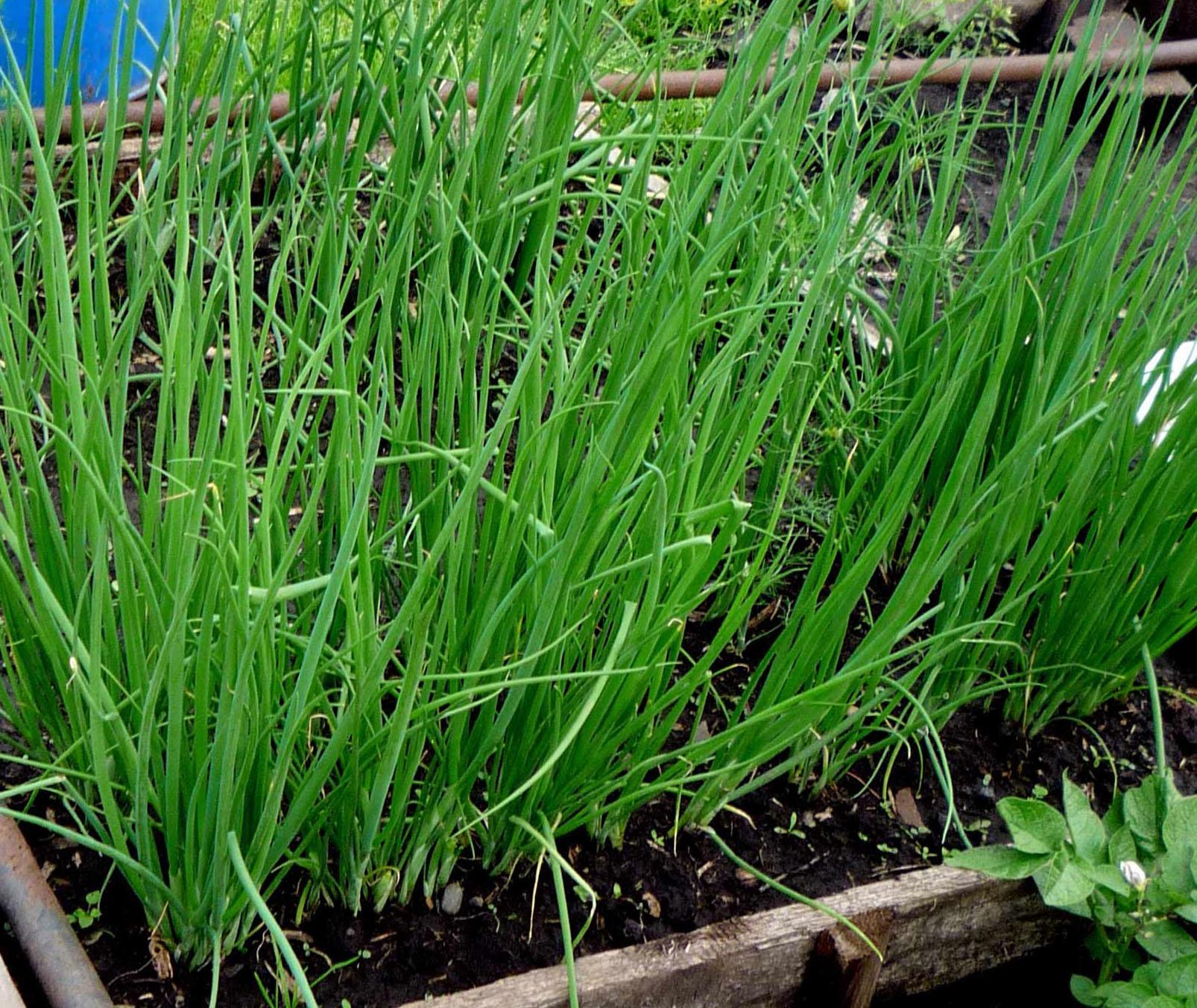 Лук батун: выращивание, посадка и уход