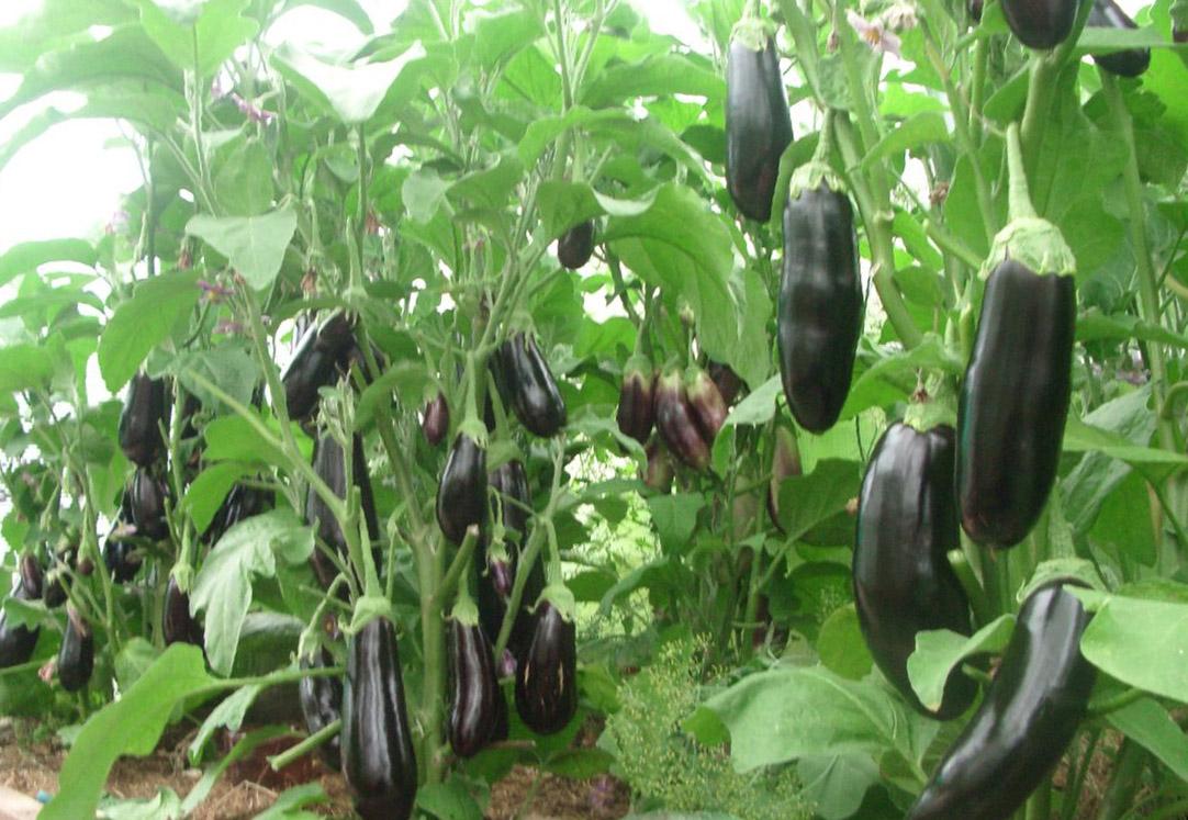 Посадка баклажанов на рассаду в 2018 году: особенности выращивания