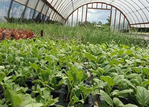 Выращивание редиса зимой в теплицах