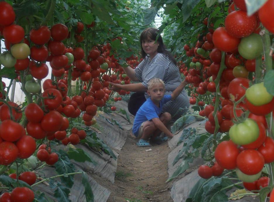 Какие сорта томатов сажать в теплице из поликарбоната 78
