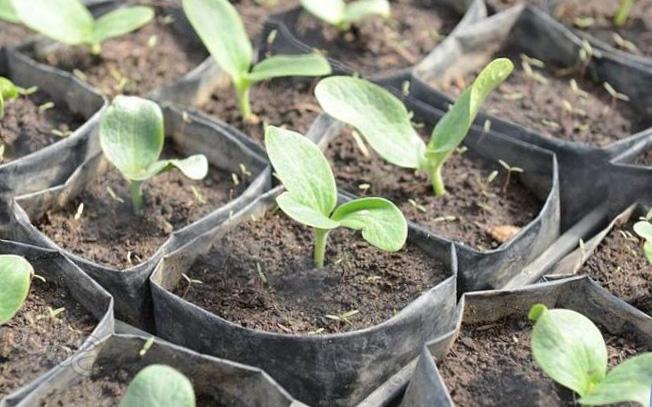 Картинки по запросу Как вырасть рассаду кабачков