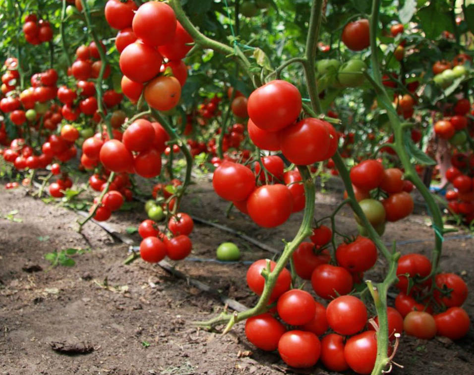 как вырастить хороший урожай томатов