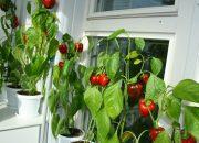 Как вырастить острый  перец в домашних условиях