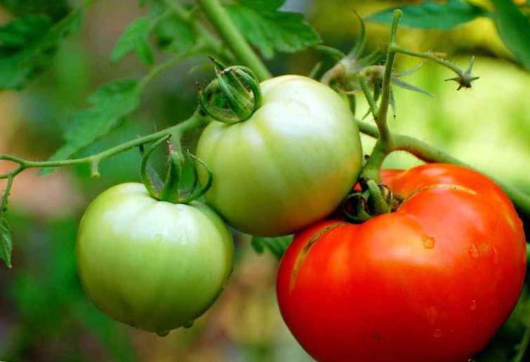 Как сделать так чтобы помидоры краснели на кусту 171