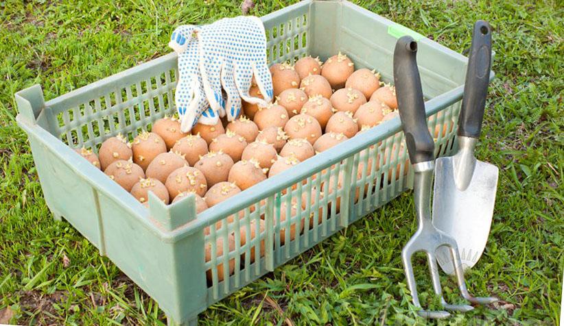 Обработка посадочного картофеля от колорадского жука