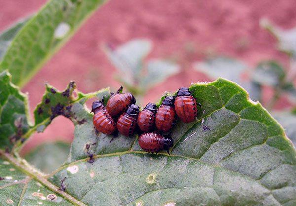 Защита картофеля от колорадского жука перед посадкой
