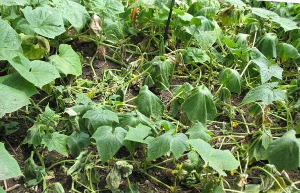 отчего вянут листья у огурцов в теплице