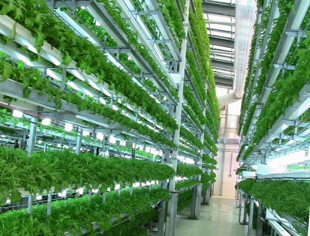 Выращивание укропа в теплице зимой как бизнес 25