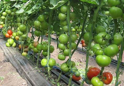Почему не краснеют помидоры в теплице