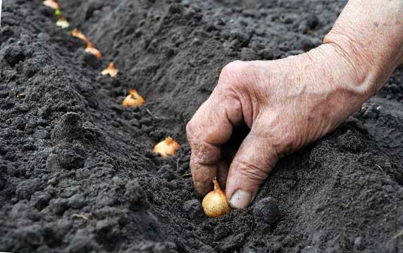 Как правильно и когда сажать лук под зиму