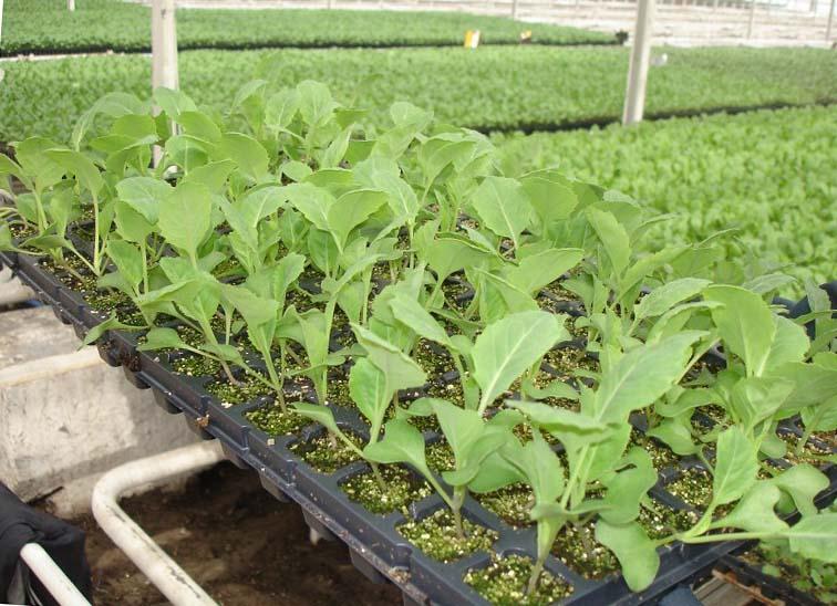 Савойская капуста выращивание в открытом грунте 64