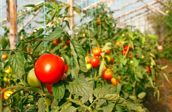 Бизнес план выращивание томатов 42