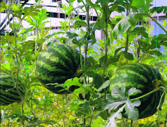 типу выращивание арбузов в теплице термобелья Craft