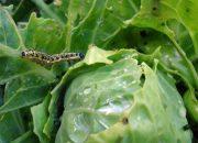 Как избавить от гусеницы на капусте народными средствами