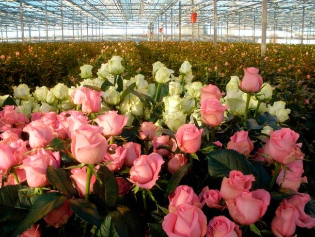 Голландские розы как сажать 48