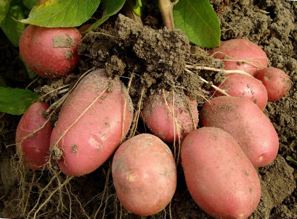 Картошка технология выращивания 3