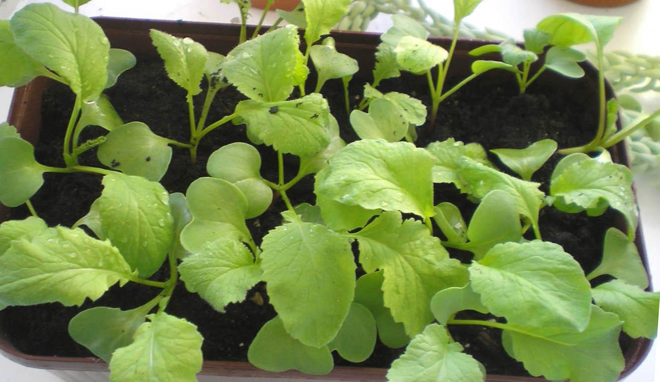 Как вырастить редис на подоконнике огородник.