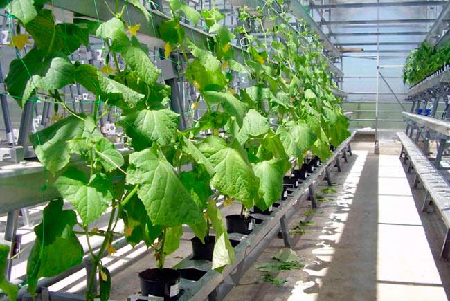 Выращивание огурцов в парниках 17