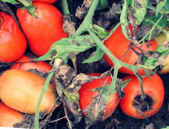 Почему гниют помидоры на кустах