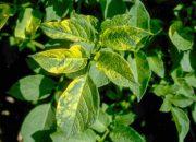 Почему желтеют листья у картофеля и что делать в такой ситуации
