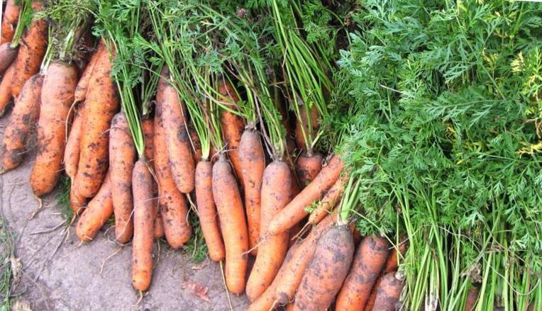 Как сохранить морковь свежей до следующего урожая?