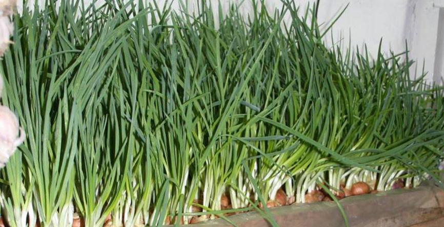 Технология выращивания лука из семян на перо 23